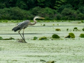 Great Blue Heron on East Bay, NY