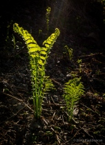 Ferns Unfurling From Fiddlehead Stage