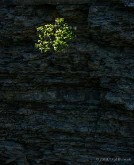 Honeysuckle shrub clings to a cliff