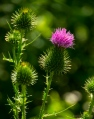 spear or bull thistle