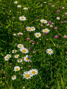 Daisies and red clover