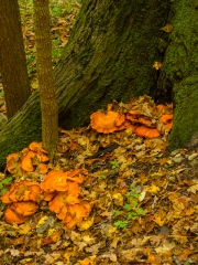 Orange Peel Fungus in Fischer Old Growth Forest