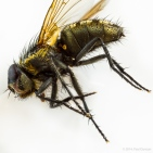 Dead cluster fly