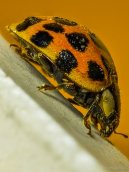 Lady Bird Beetle (laydbug), Coccinellidae family