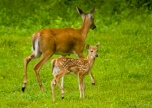 White-tailed deer doe and fawn