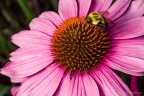 coneflower with bumblebee