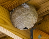 Eastern yellowjacket wasp nest