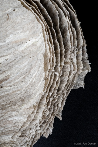 Cross section of wasp nest paper walls