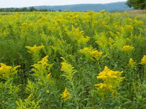 Goldenrod Crop