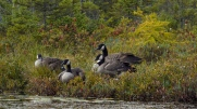 Canada Geese along the shore of the Osgood River
