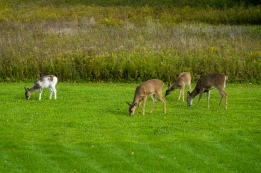 Deer, including a piebald deer on the left, graze in our backyard.