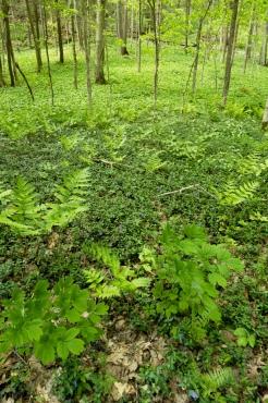 Lush carpet of Vinca, ferns, and other vegetation on the forest floor