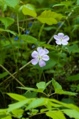 Groups of wild geranium thrive on the banks of the inlet.