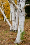 White birches.