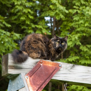 Meeko was a highly-skilled climber. For example, it was efortless for her to get to the 2nd-floor roof.