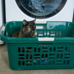 Laundry day means warm clothes are about to be placed in the basket. Meeko was ready.