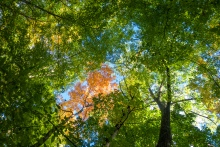 Early Fall forest deciduous canopy